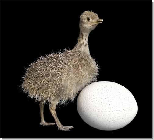 (На фото - птенец и яйцо страуса) .